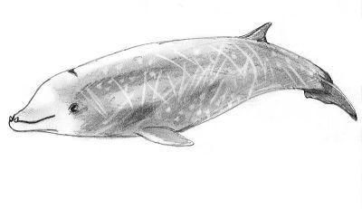 Zeichnung eines Cuvier-Schnabelwals. Foto: Wikipedia