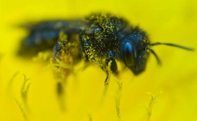 Rettung für die Imker? Die schwarze kanarische Biene.